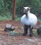 Our Ashley...a few days before her lambs arrived--only two :)
